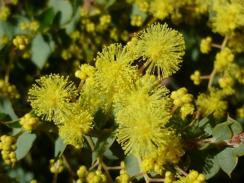 Small yellow ball flowers gallery flower decoration ideas australian plants society nsw acacia little nugget form of acacia pravissima and is a hardy small mightylinksfo Image collections