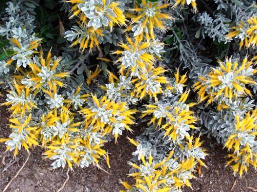Australian Plants Society Nsw Eremophila Glabra